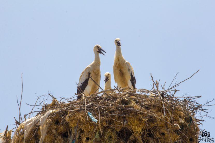 Гнездо на ЩЪРКЕЛИ - семейство от майка, баща и дете
